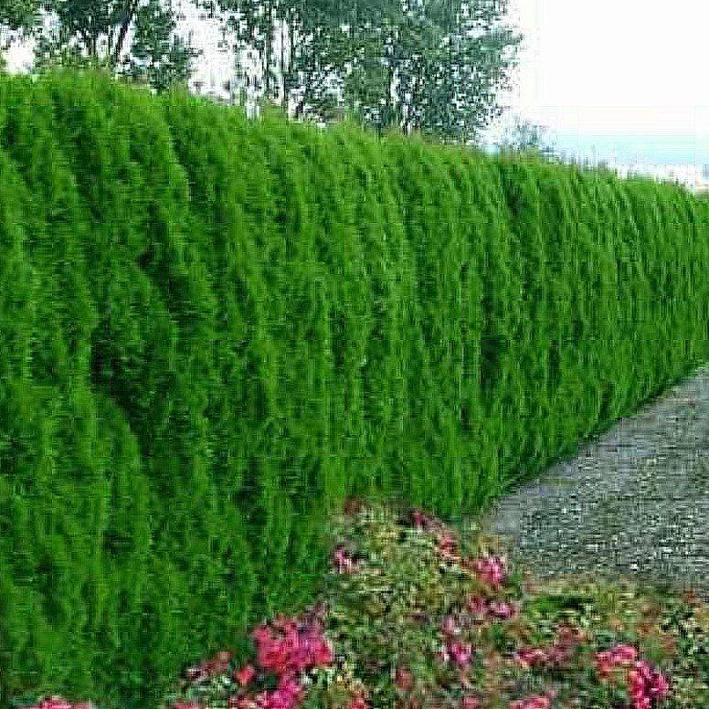Hecken for Gartengestaltung thuja